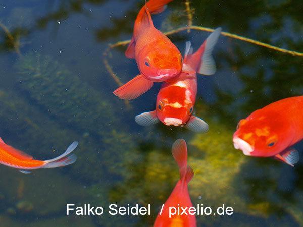 Goldfische haben einen neuen Teich :-)