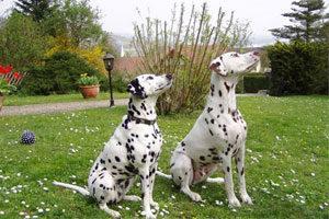 feine-hundemode-dalmatiner-02
