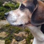 Beagle Charly ist vermittelt