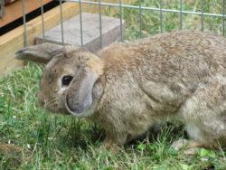 Widder Kaninchen Charly