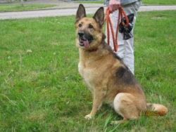 Schäferhund-Mix Hündin sucht eine neue Familie