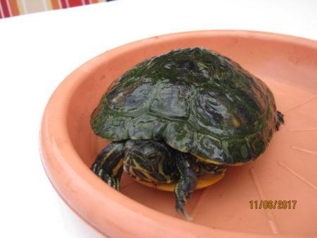 Schmuckschildkröte sucht Platz an der Sonne
