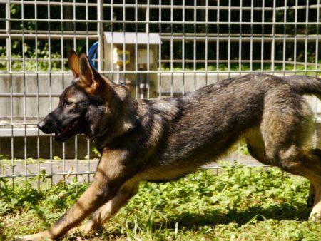 Molly sucht ein Zuhause bei Schäferhunderfahrenen Menschen