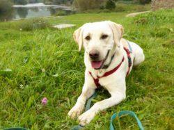 Poldi, der junge Labrador, ca. 2. Jahre alt, sucht immer noch nach seinen Menschen!