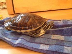 Hieroglyphen-Schmuckschildkröte sucht neues Heim