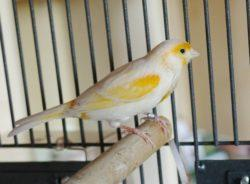 Kanarienvogel sucht Vogelfreund