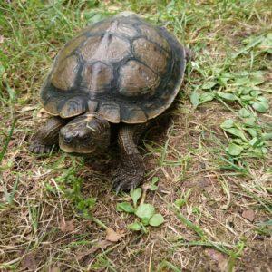 Höckerschildkröte sucht neuen Besitzer oder Pflegestelle