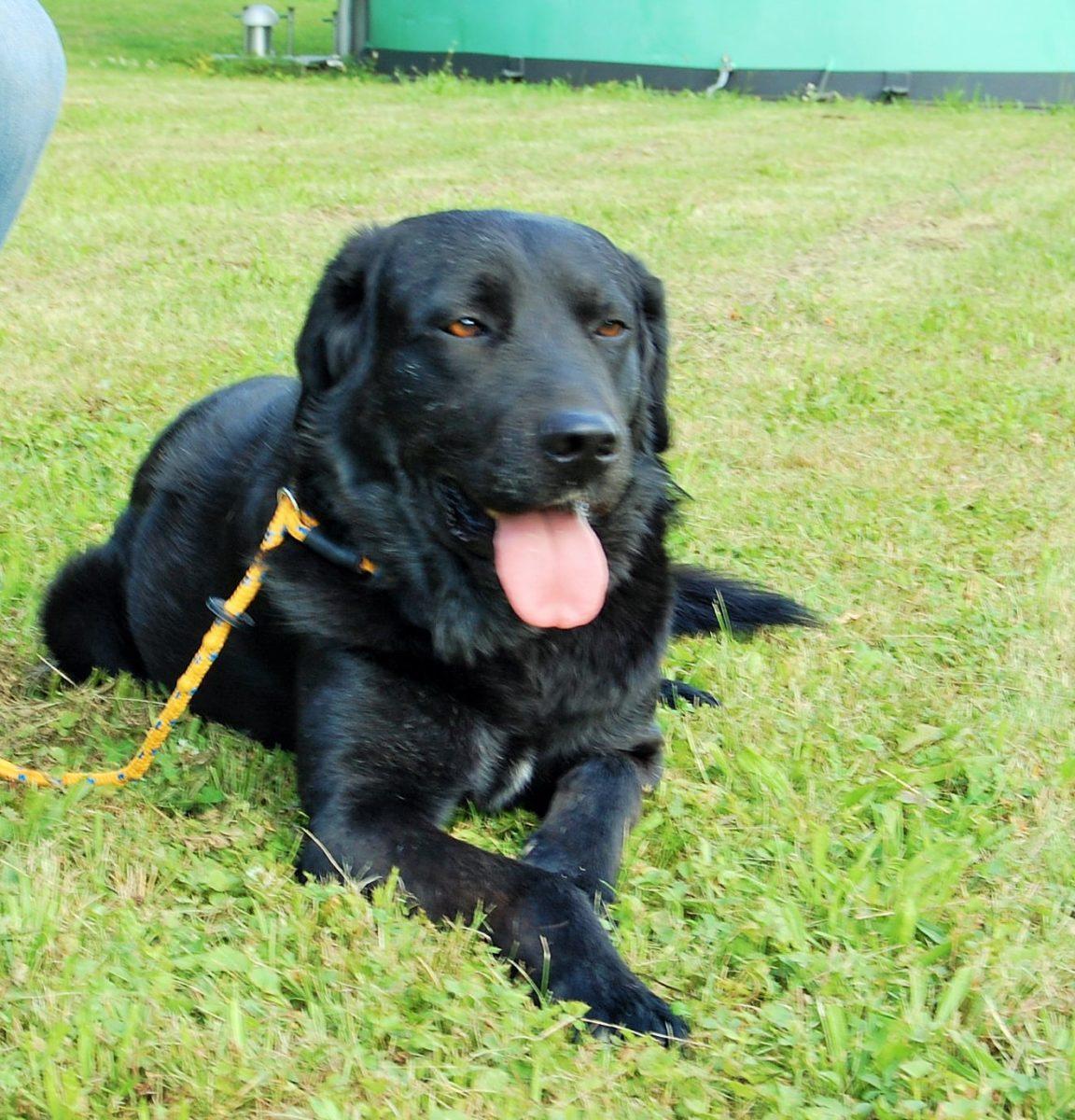 Sympathischer Labrador-Mix Vince sucht ein neues Zuhause
