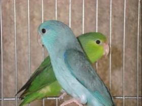 Blaugenick Sperlingspapageien Paar sucht ein ruhiges Plätzchen
