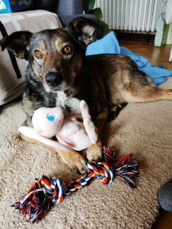 Daisy im neuen Zuhause mit Spielzeug