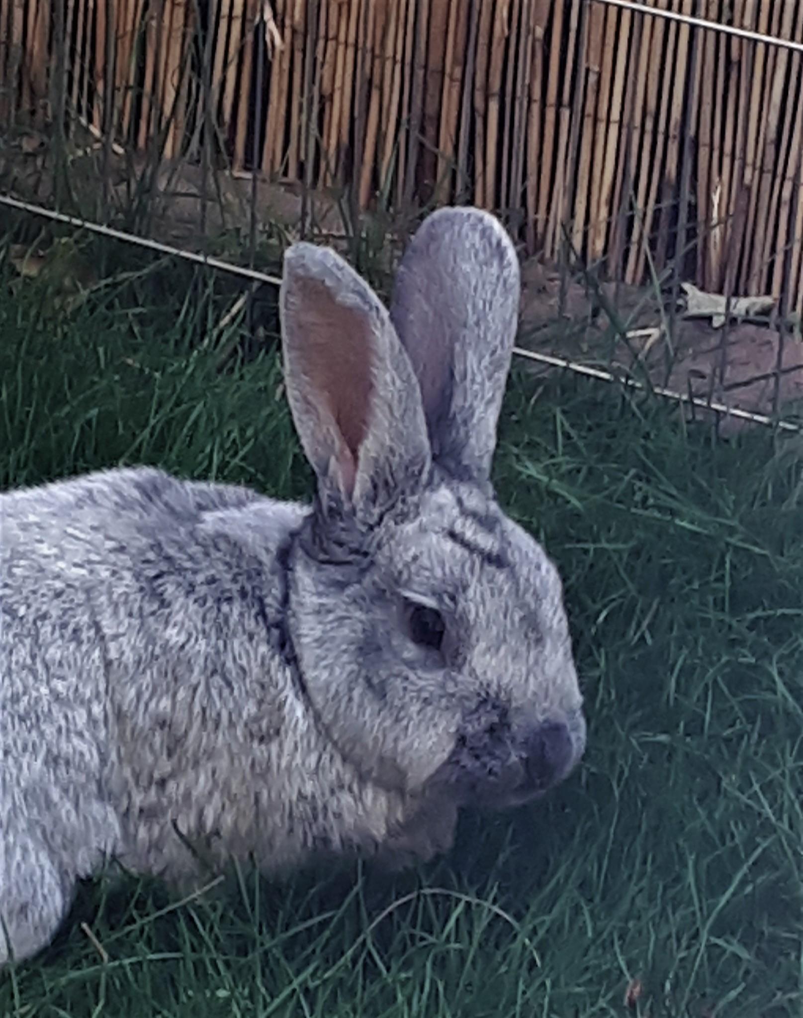Großsilberkaninchen Cleo