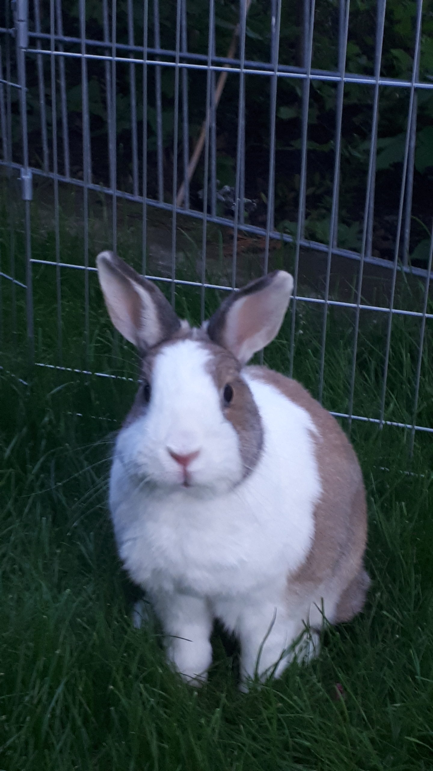 Kaninchen-Lemm-2