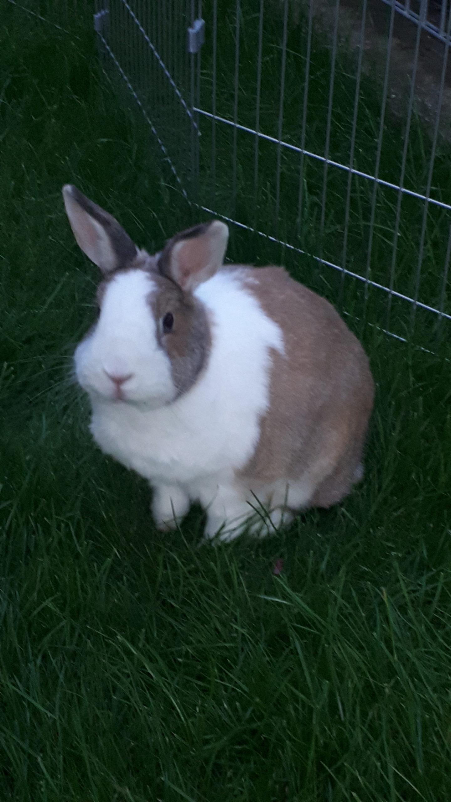 Kaninchen-Lemm