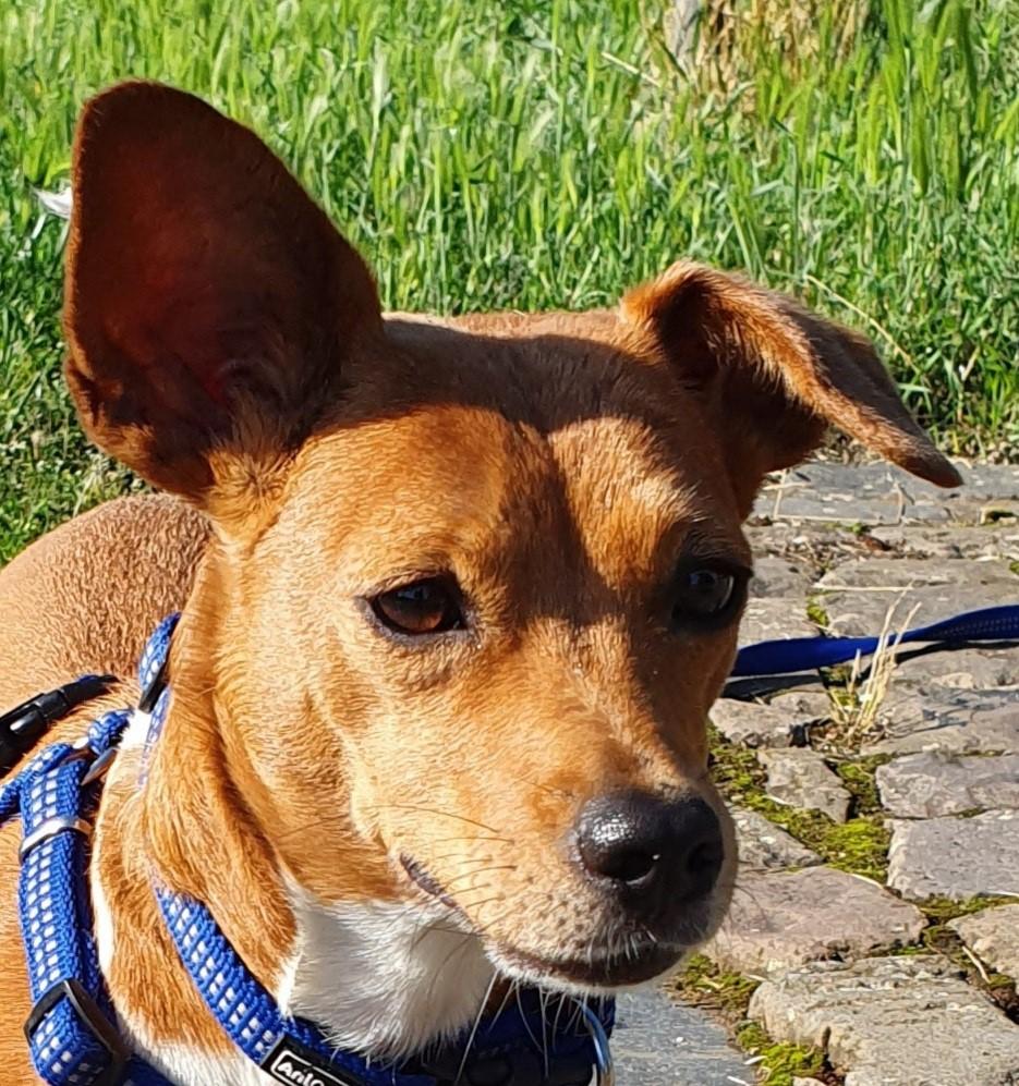 Pucky - Sportliche Hundedame sucht erfahrenen Hundemenschen