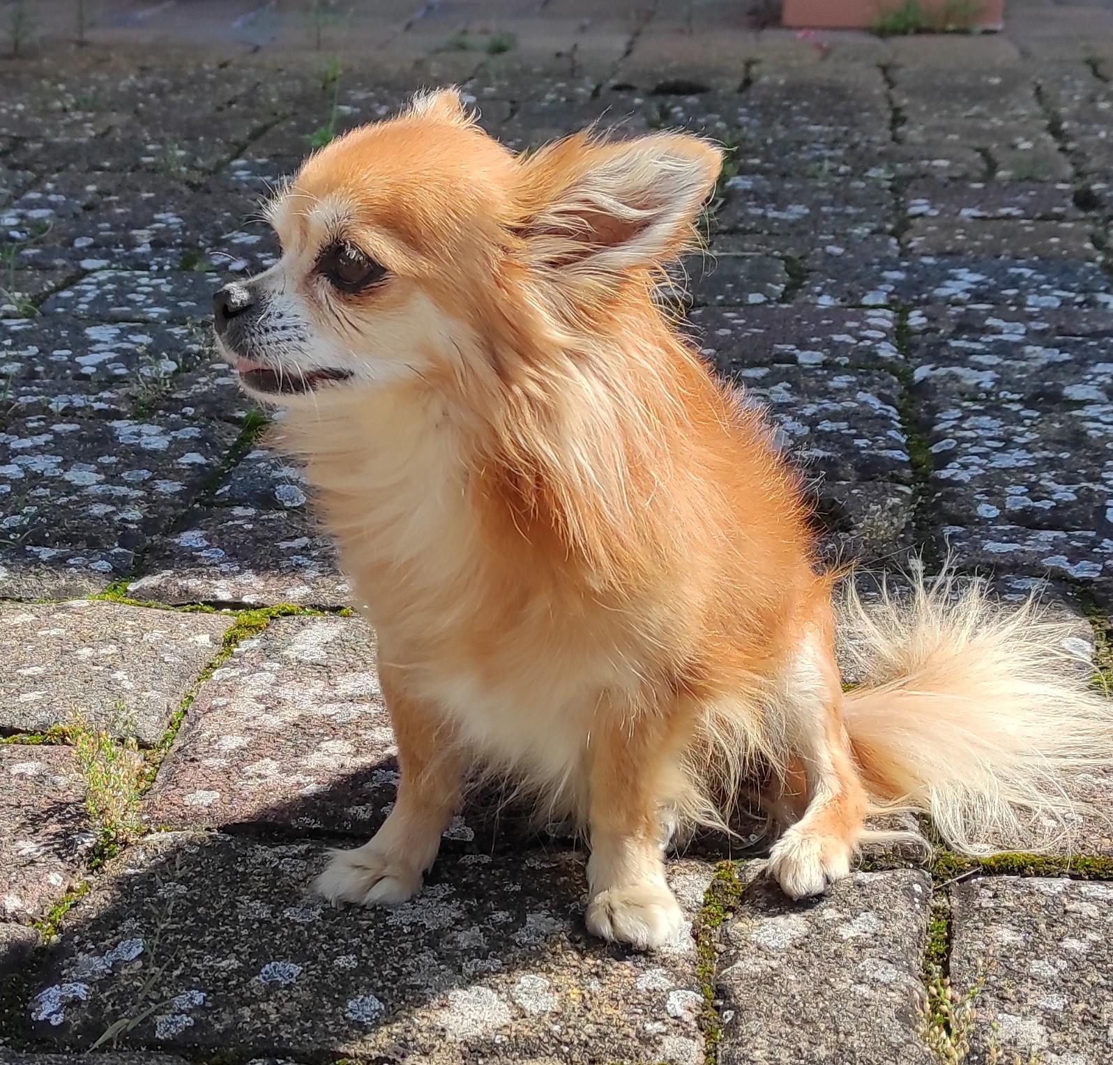 Filou- Chihuahua
